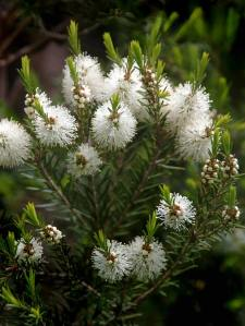 Melaleuca alternifolia2
